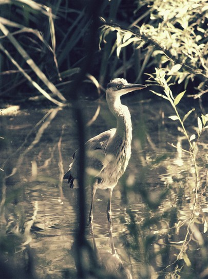 Photo:Heron on the River Wandle